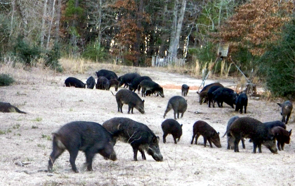 wild pig hunting