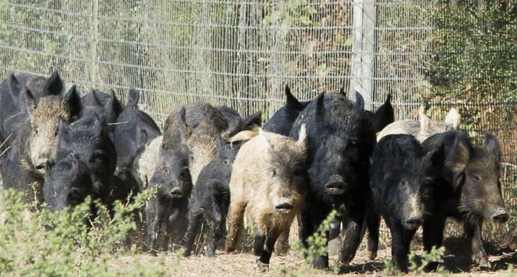 why hunt feral hogs