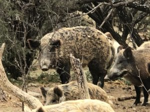 hog depredation